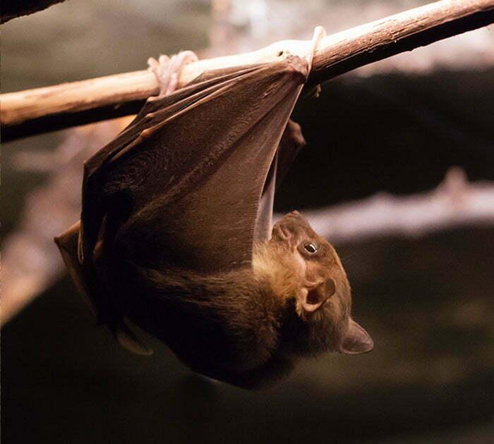 Terminix | Common Bat