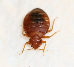 Terminix | Bed Bugs | Common Bugs