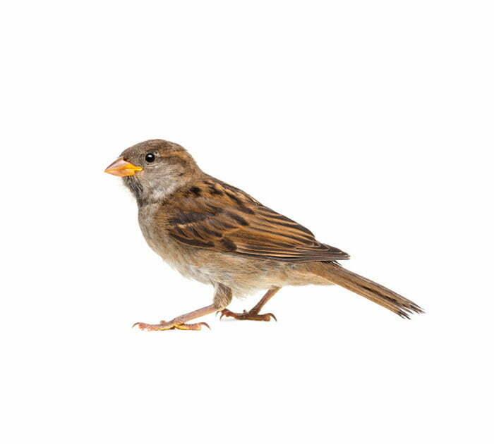 Terminix | House Sparrows