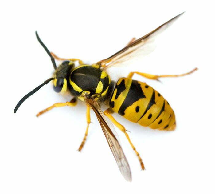 Terminix | Wasps