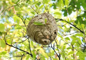 Wasp nest hanging in a tree.