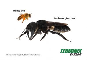 Wallace's Giant Bee compared to a regular honey bee