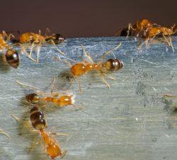 Fourmis pharaons Taille : De 1 mm à 2 mm de long. Couleur : Varie du jaune doré au rougeâtre. Comportement : Petites fourmis, les fourmis pharaons nichent généralement dans des endroits chauds et difficiles d'accès, tels que les murs, les dosserets de cuisine et les prises de courant murales. En savoir plus