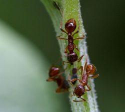 Fourmis rouges moissonneuses Taille : De 4,5 à 13 mm de long. Couleur : Orange à rouge ou noir brunâtre. Comportement : Les fourmis rouges moissonneuses récoltent des graines comme principale source de nourriture. Elles dégagent de grandes zones circulaires autour du trou d'entrée de leur nid dans votre cour. En savoir plus