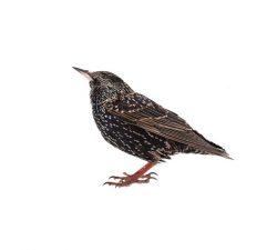 Étourneaux Taille : De 19 à 23 cm de long, envergure de 31 à 44 cm. Couleur : Plumage noir brillant avec un reflet métallique/irisé. Comportement : Les étourneaux forment des perchoirs communs qui peuvent accueillir 10 000 oiseaux supplémentaires. Au cours de leur migration, les populations peuvent atteindre des centaines de milliers dans le sud de l'Ontario et dans certaines autres provinces. Ils nichent dans de grands arbres ou des bâtiments et aiment se nourrir de fruits sauvages ou cultivés comme les baies ou les cerises. En savoir plus
