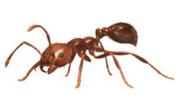 Terminix_Fire-Ant__Adjusted