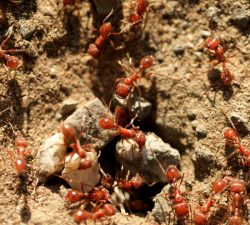 Terminix | Fire-Ants