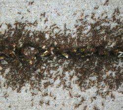 Terminix | Pavement Ants