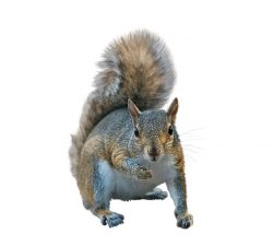 Squirrels Size: 10 to 70 cm long. Colour: Brown, grey, black or red fur. Behaviour: Squirrels have slender bodies with large bushy tails and often stand on their back legs when they're not running or climbing. Canada is home to 22 different breeds of squirrels.  Learn more