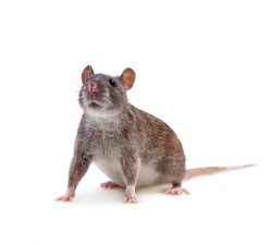 Norway Rat Size: 40 to 50 cm long.Colour: Dark grey or brown.Behaviour: Norway rats have small eyes and ears, a blunt and slanted snout with coarse fur, long tails and a heavy body. They enjoy damp environments and are strong swimmers. Nocturnal, rats enjoy burrowing underground.  Learn more