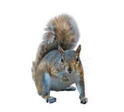 Écureuils Taille : De 10 à 70 cm de long. Couleur : Fourrure brune, grise, noire ou rouge. Comportement : Les écureuils ont un corps mince avec une grande queue touffue et se tiennent souvent sur leurs pattes arrière lorsqu'ils ne courent pas ou ne grimpent pas. Le Canada abrite 22 espèces différentes d'écureuils. En savoir plus