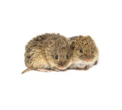 Voles Size: 11 to 15 cm long.Colour: Brown to grey fur.Behaviour: Voles are tiny rodents that look similar to hamsters. Vole populations can grow very large in a small period of time, with the females having 5 to 10 litters per year and the babies reaching maturity in a month.  Learn more